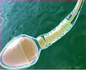 Сперма светло прозрачного цвета