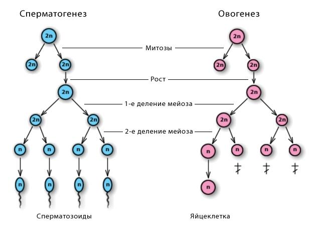сперматозоиды срок созревания-гд3