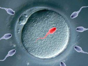 Слияние сперматозоида с яйцеклеткой