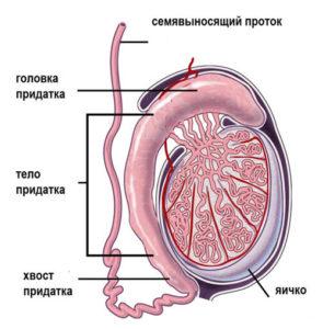 Механизм образования спермы